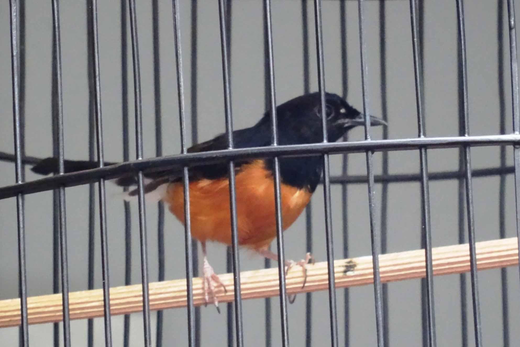 Burung Murai Batu Kalimantan