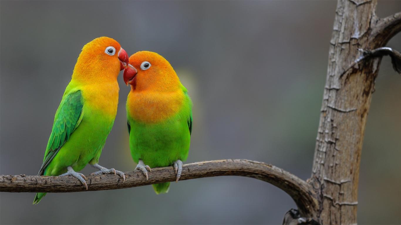 √ 13 Cara Merawat Burung Lovebird Agar Ngekek & Gacor