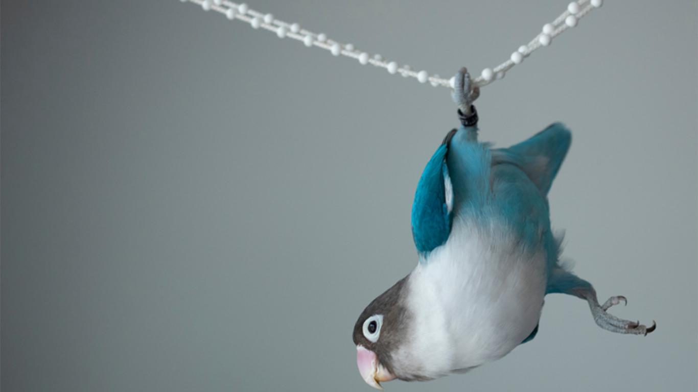 Gantang Lovebird di Keramaian