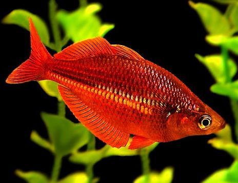 Ikan Rainbow Merah