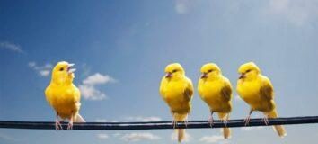 Jenis Burung Kenari