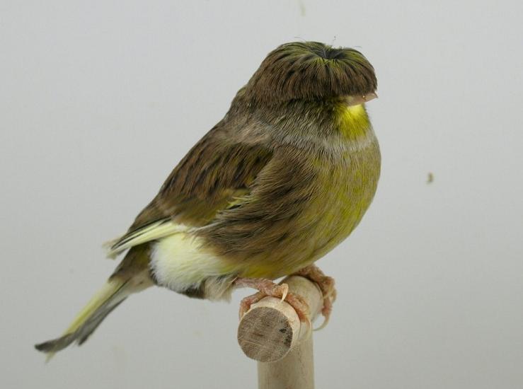 Jenis Burung Kenari Crested