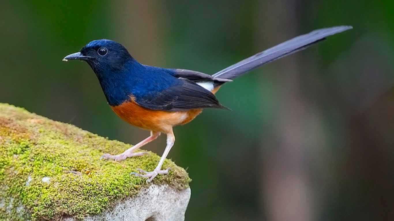 14 Jenis Burung Murai Batu Dan Harganya 2020