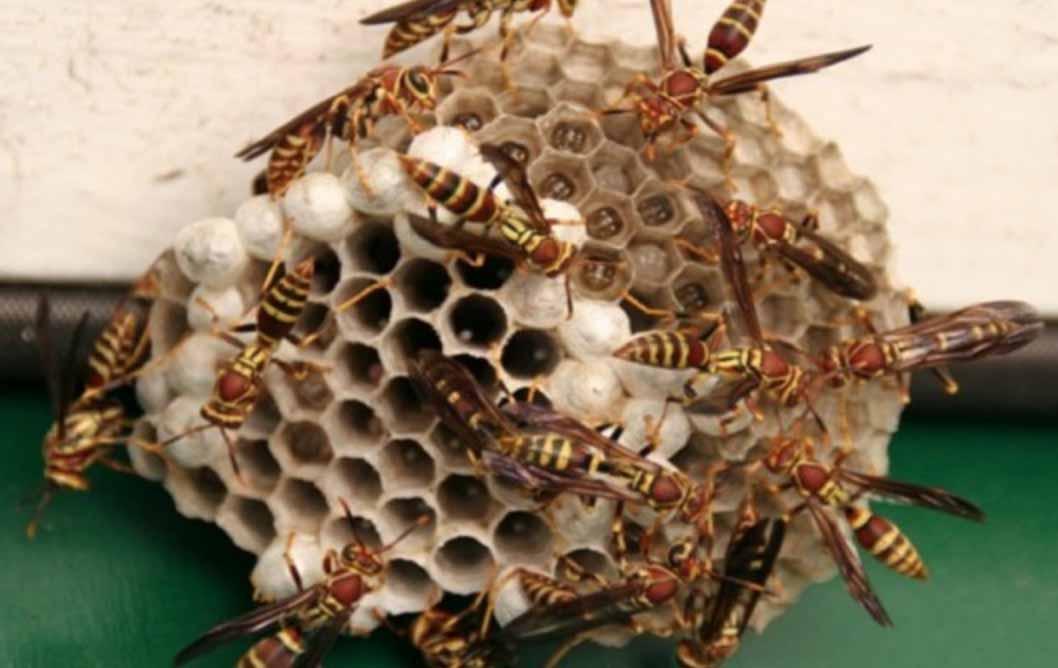 Lebah atau Larva Tawon