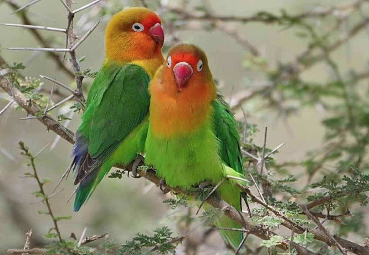 Lovebird Fischer