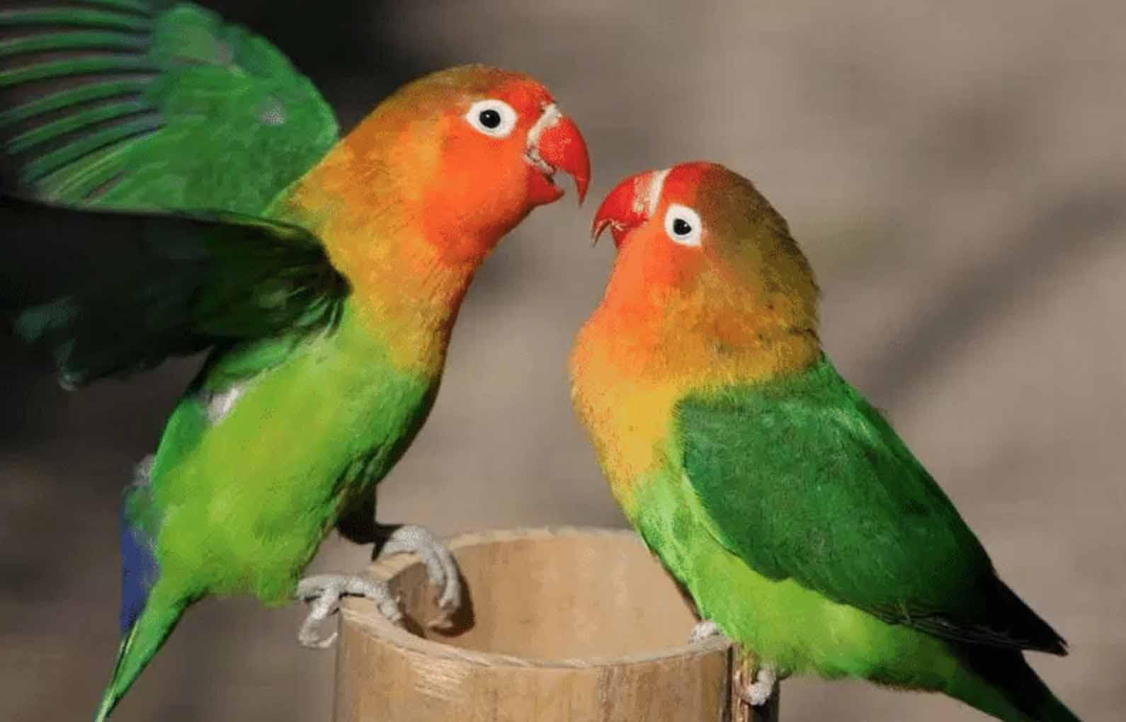Lovebird Kawin
