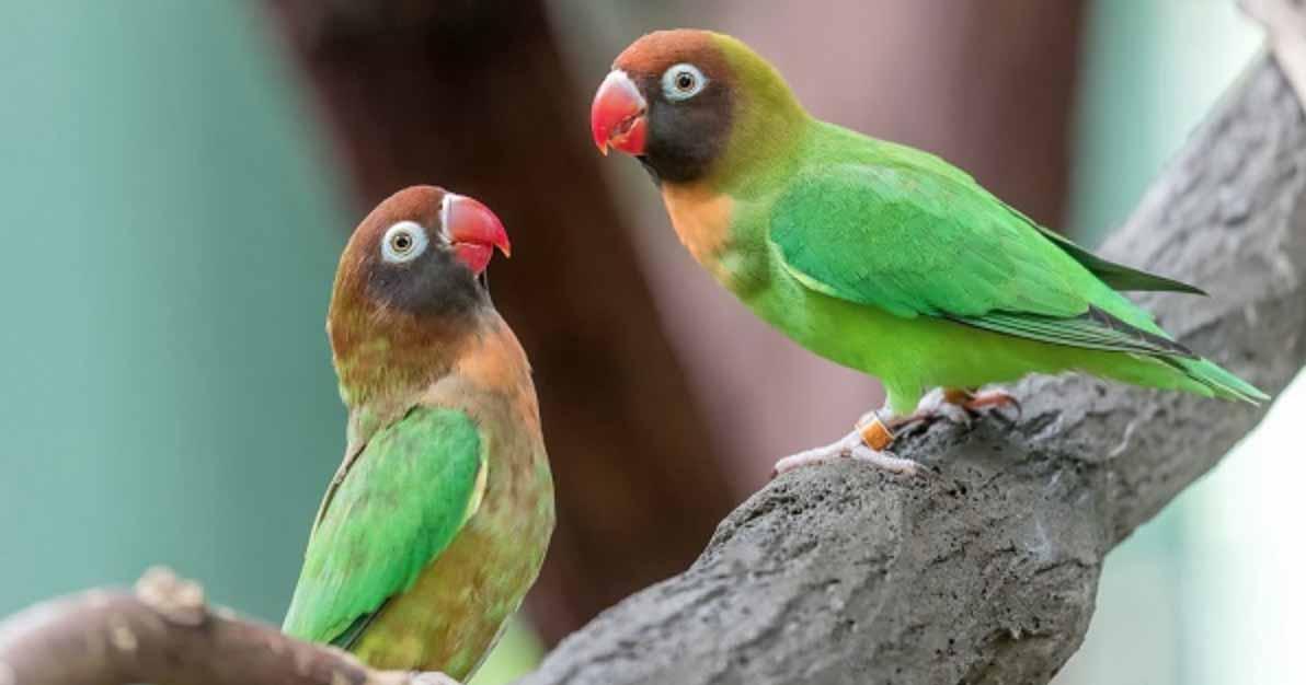 Lovebird Pipi Hitam