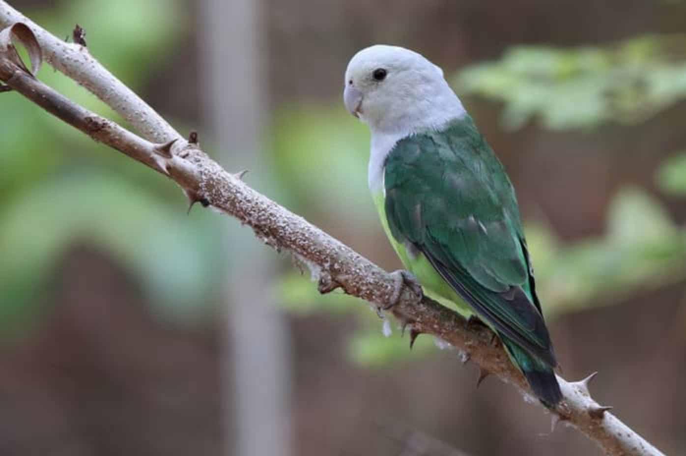 Lovebird madagaskar