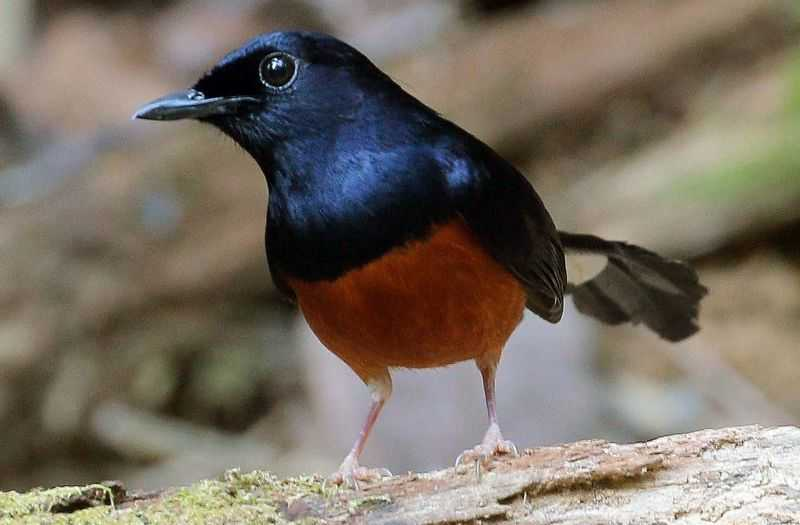 Recognizing the character of the Stone Magpie