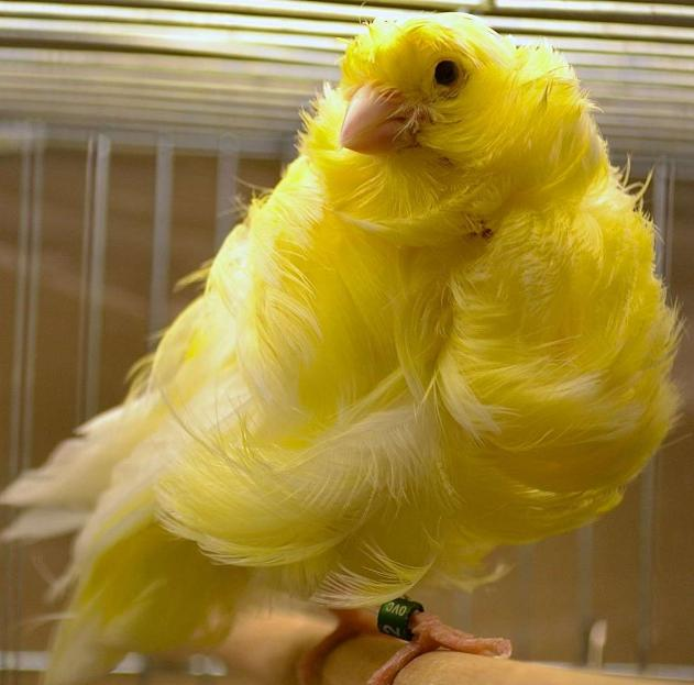 Parisian Frill Canaries