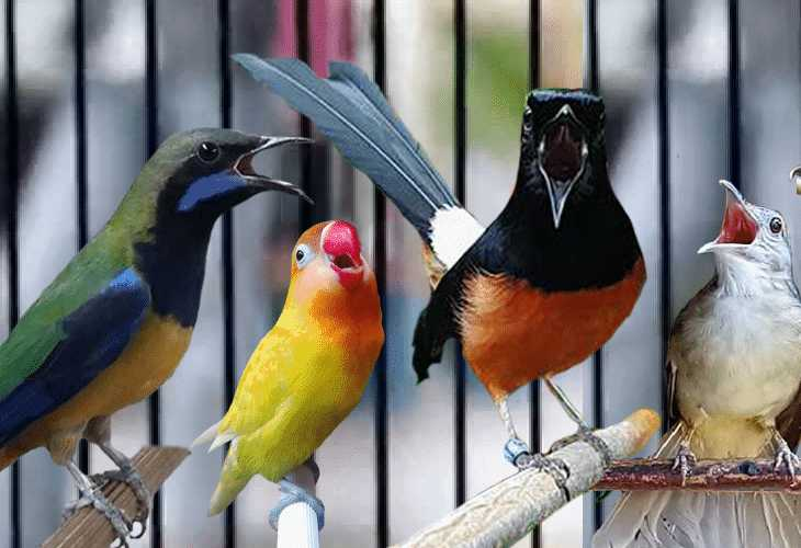 Pemasteran Burung Murai batu so that it is gacor