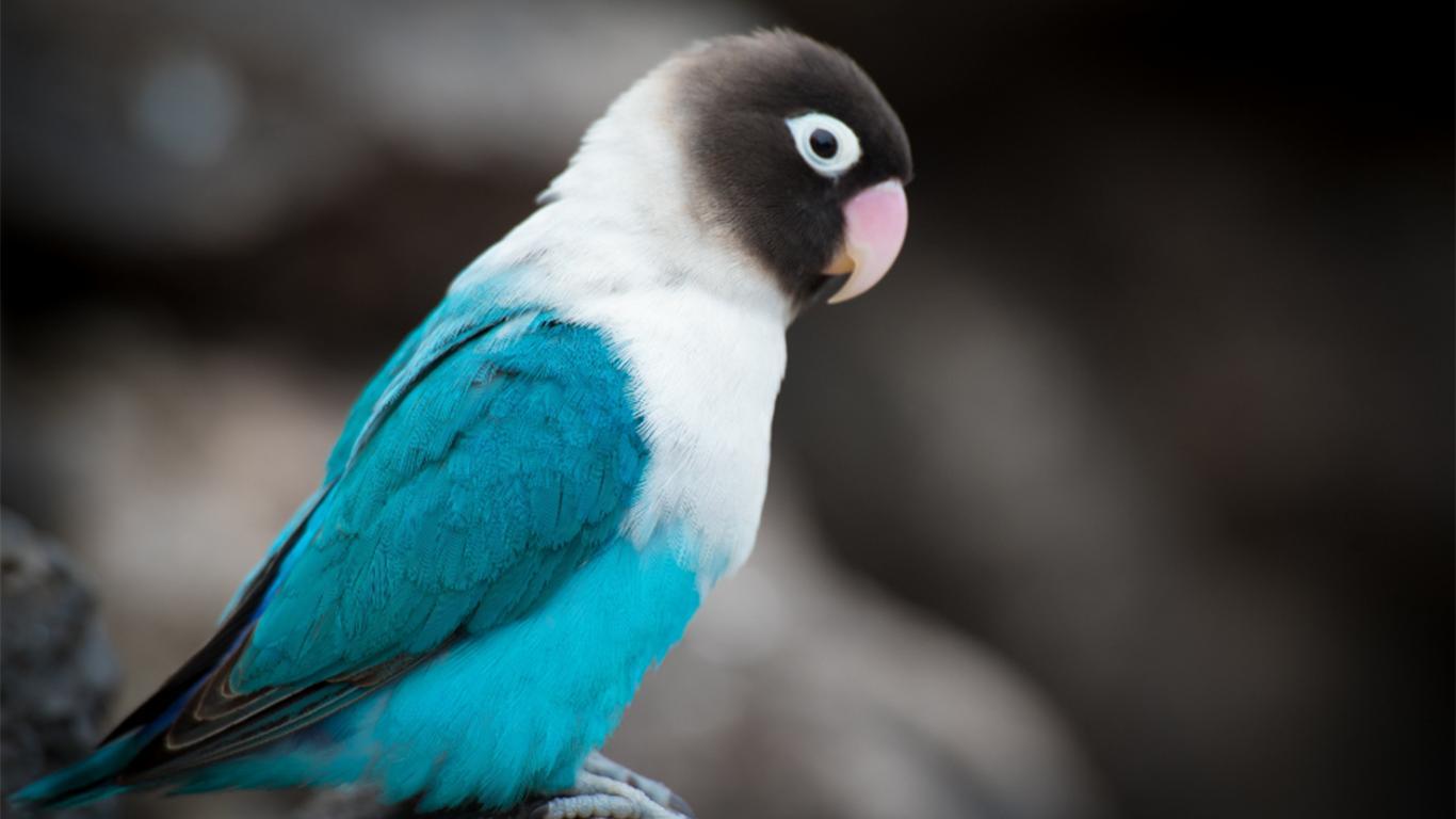 Pemasteran Lovebird