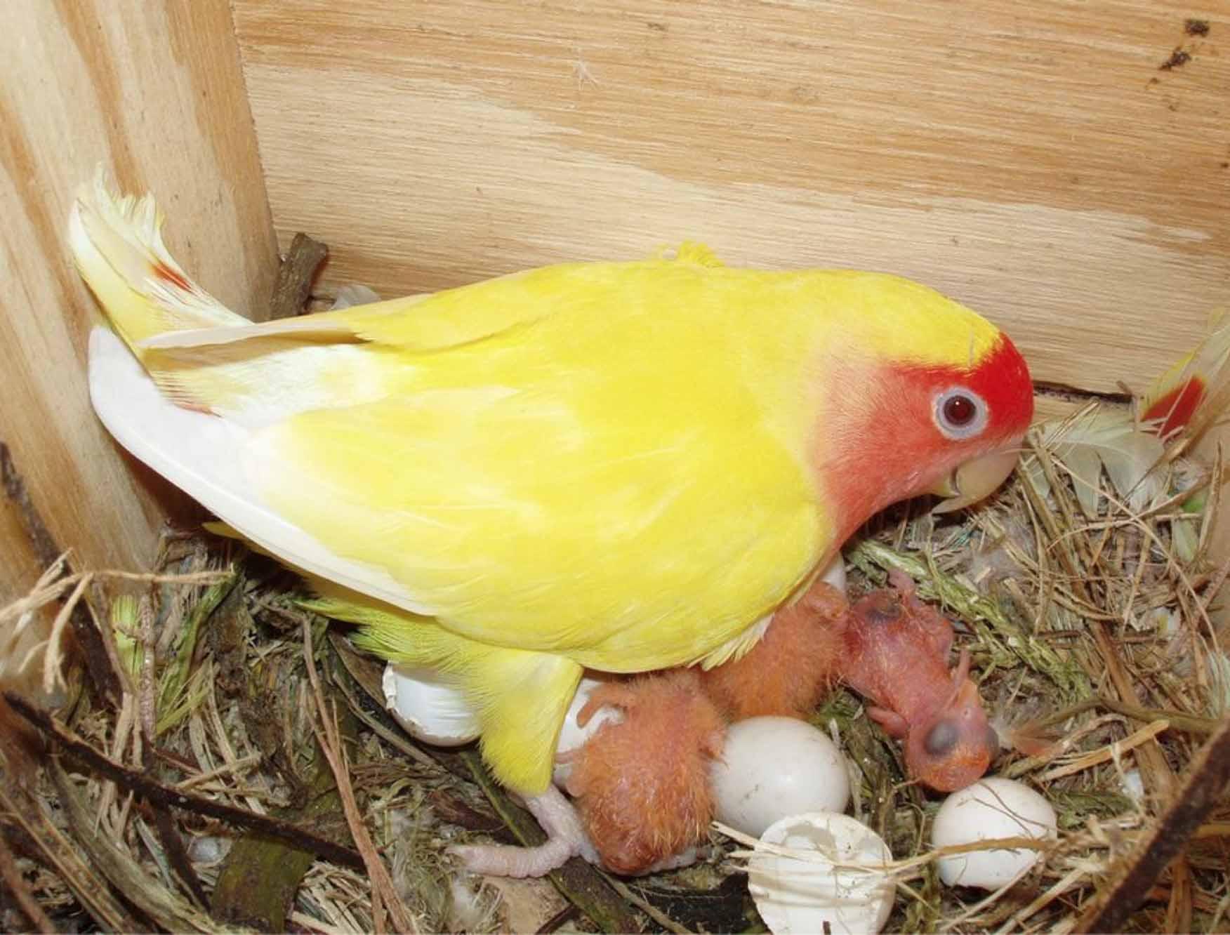 Pemisahan Anak dengan Induk lovebird