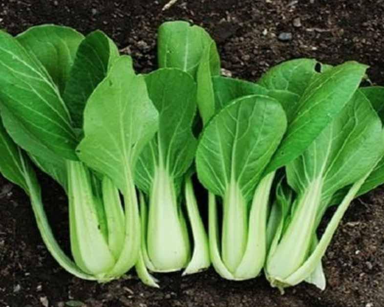 Sayuran Pakcoy