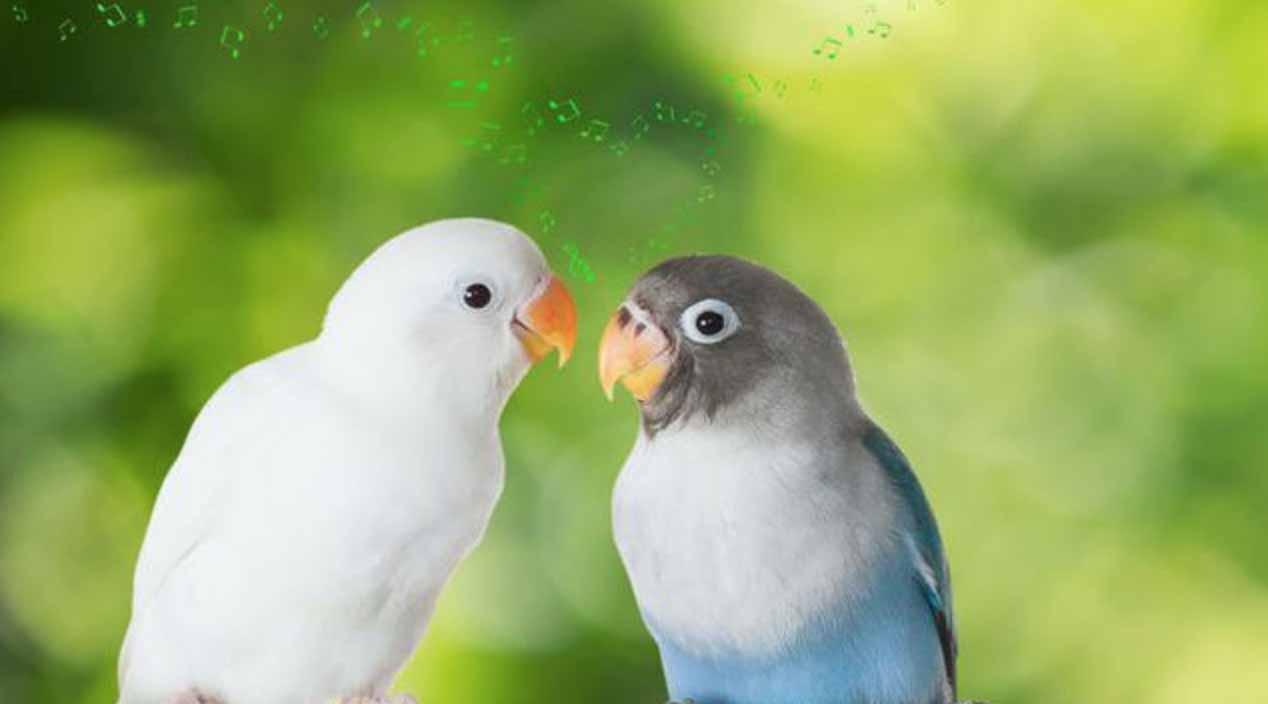 Sepasang Burung Lovebird