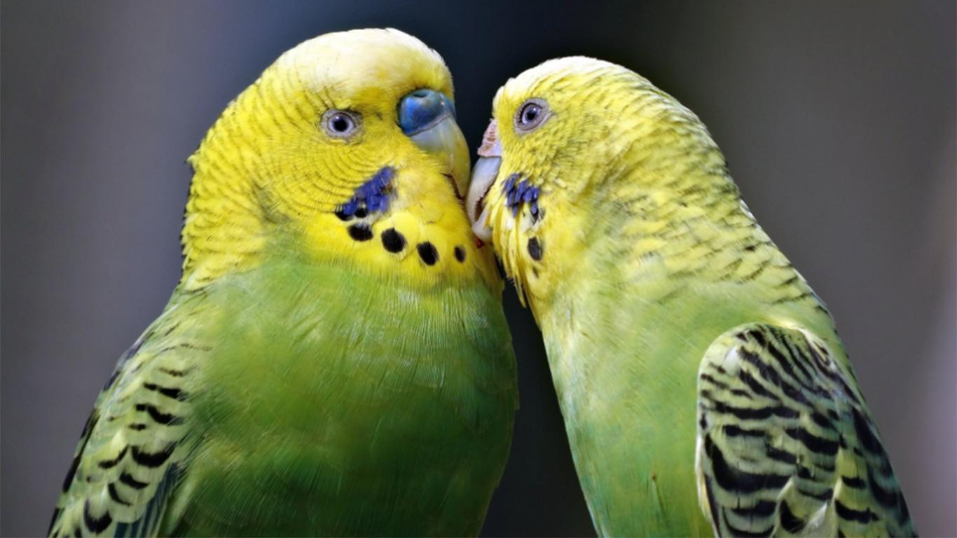 Terapi Lapar untuk burung