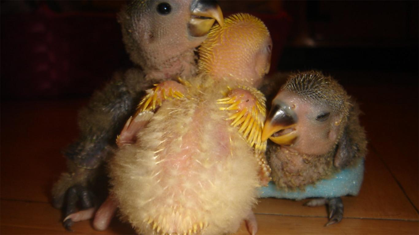 anakan love bird