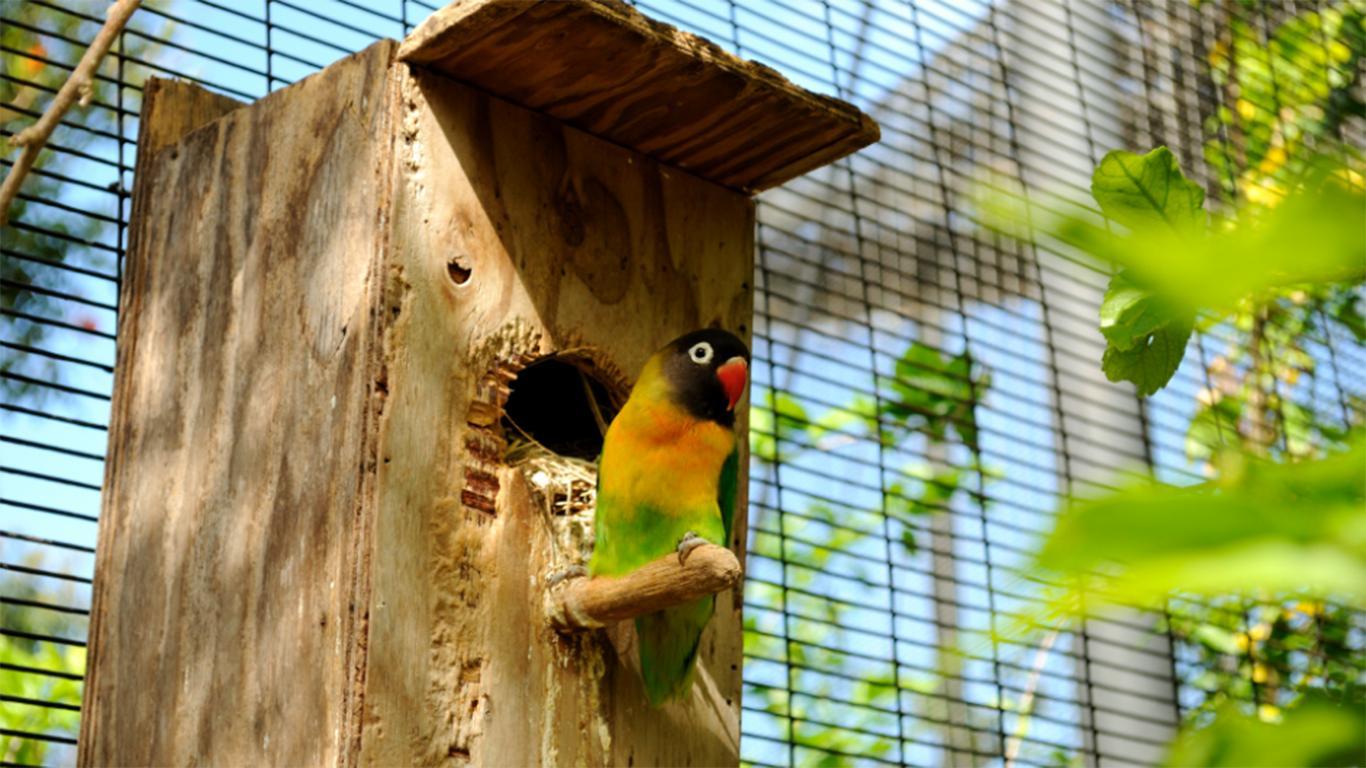 cara cepat menjinakan lovebird