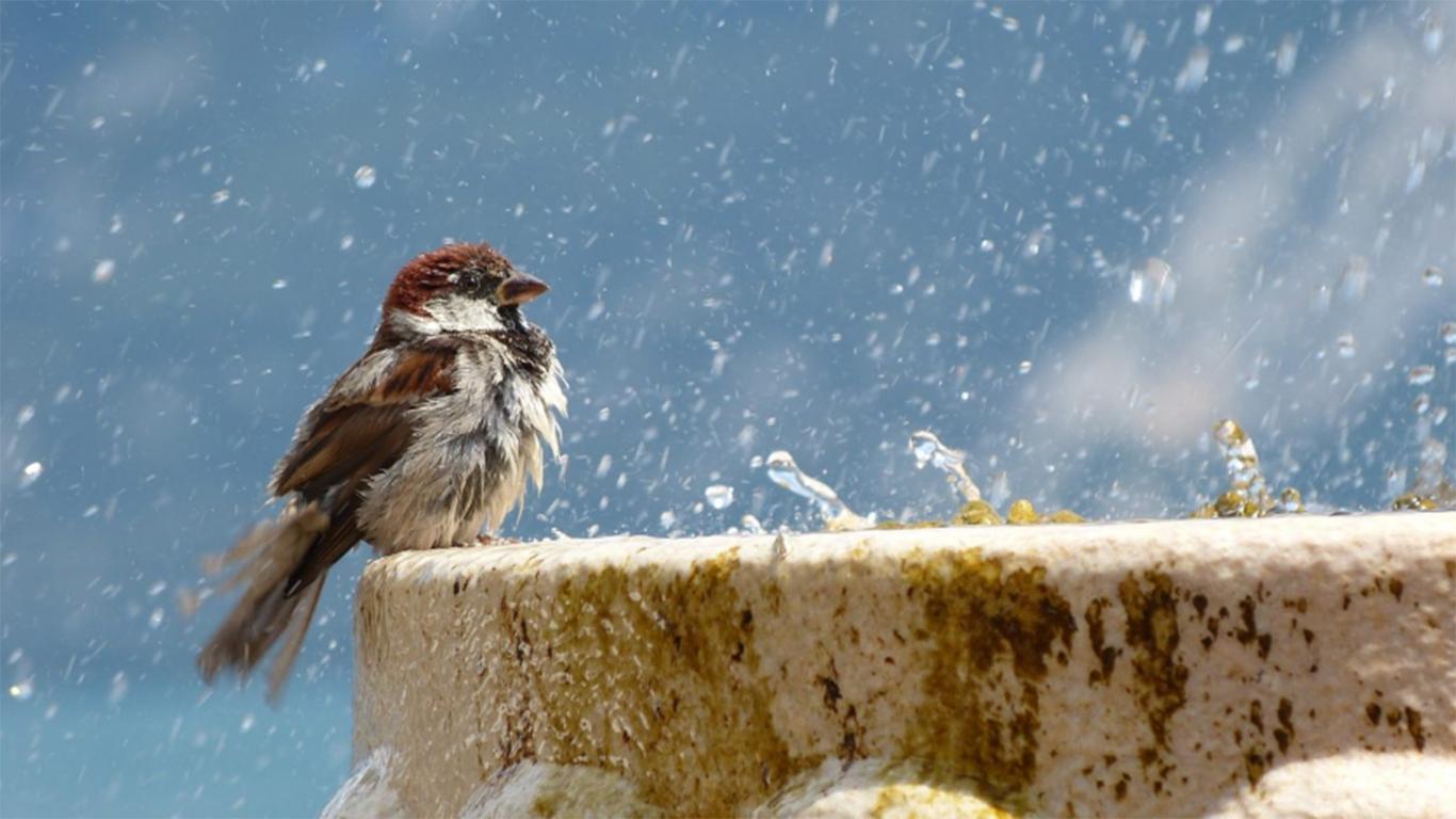 cara memandikan lovebird