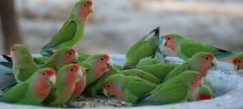 Cara Menjinakan Lovebird