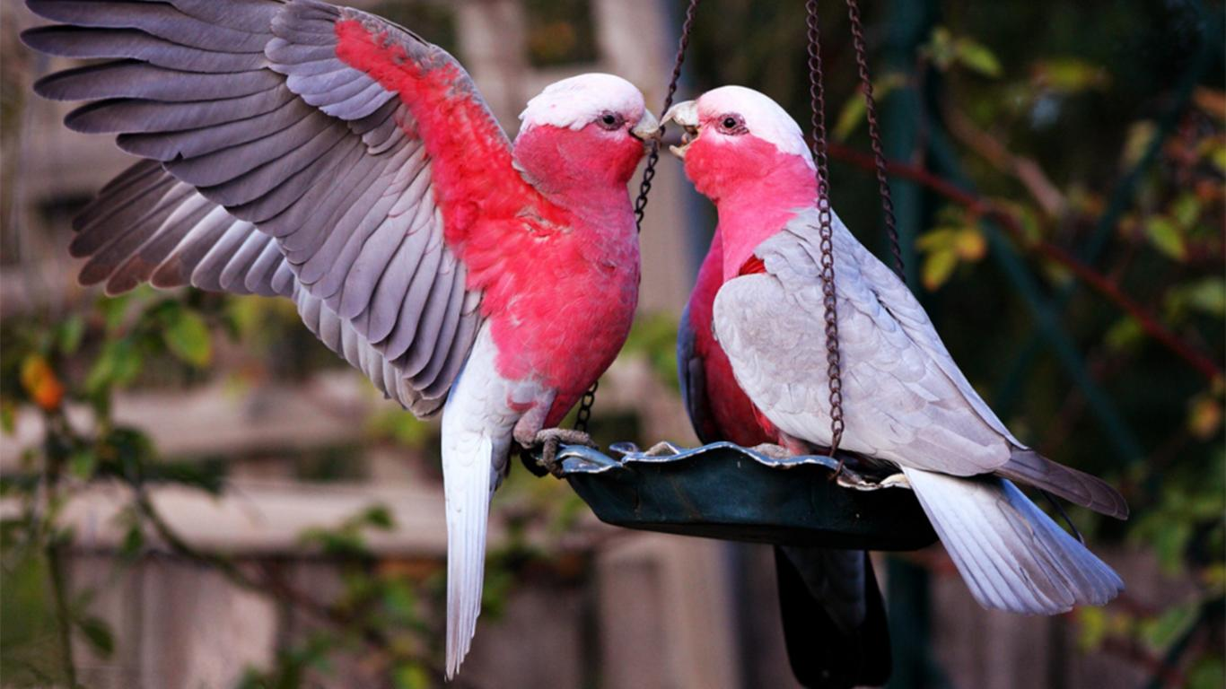 cara merawat burung lovebird paud