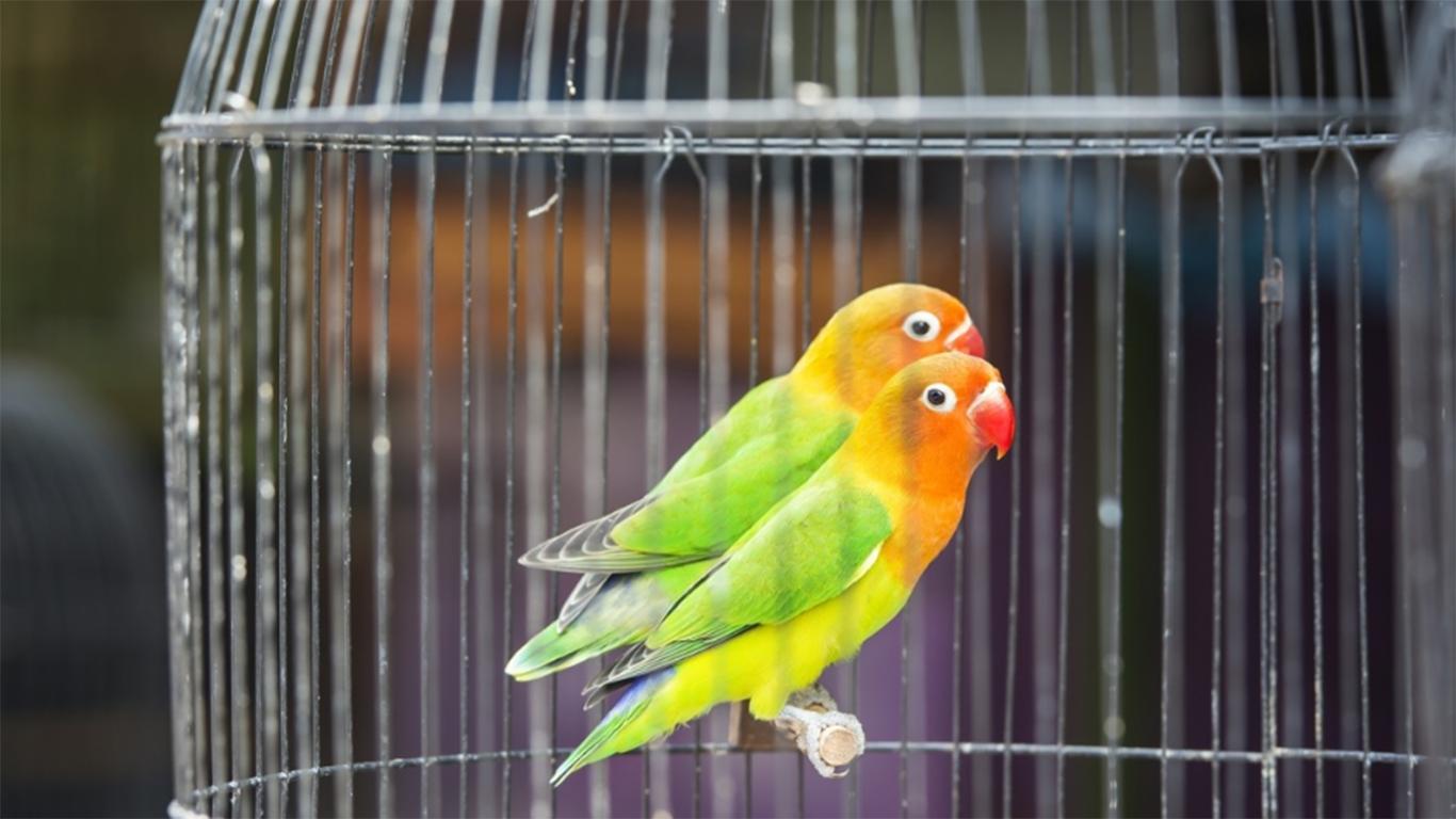 cara merawat lovebird biar cepat gacor