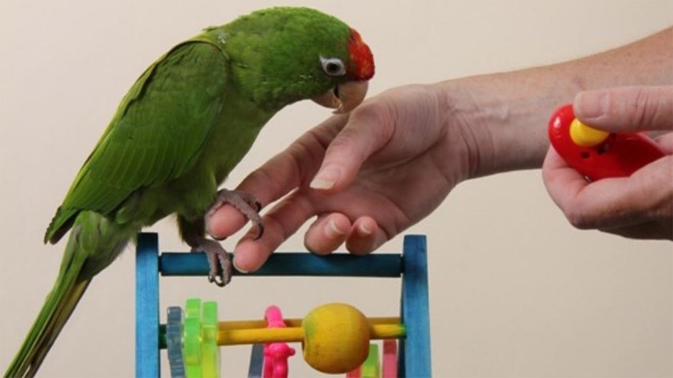 cara mudah menjinakan lovebird