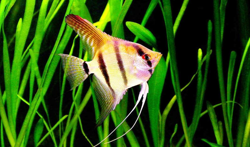 harga ikan manfish