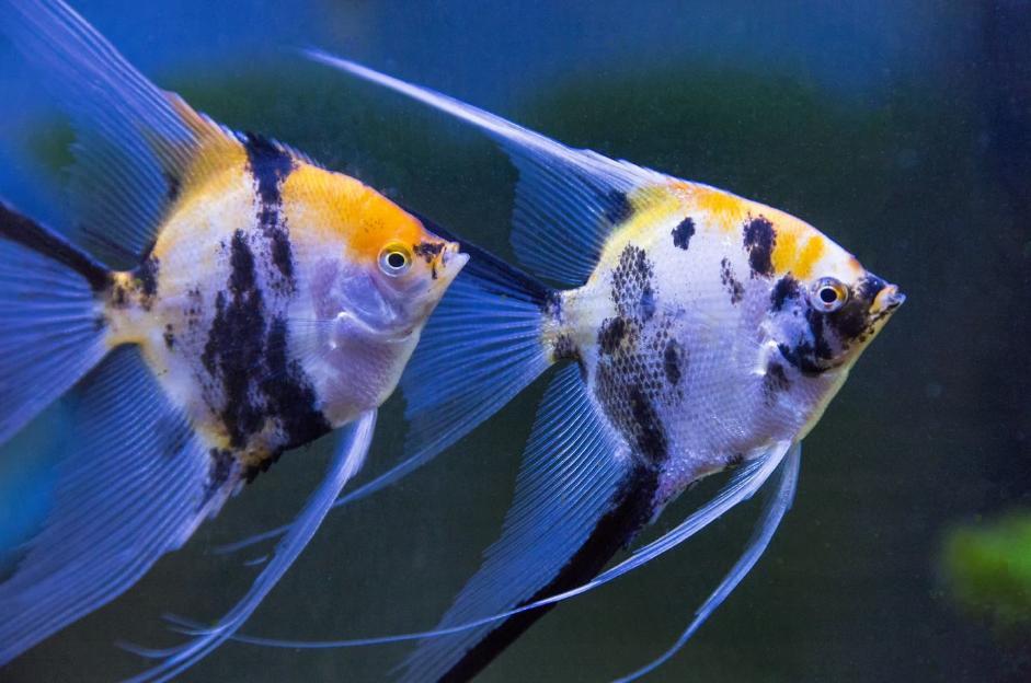 Ikan Manfish Jenis Makanan Dan Cara Budidaya