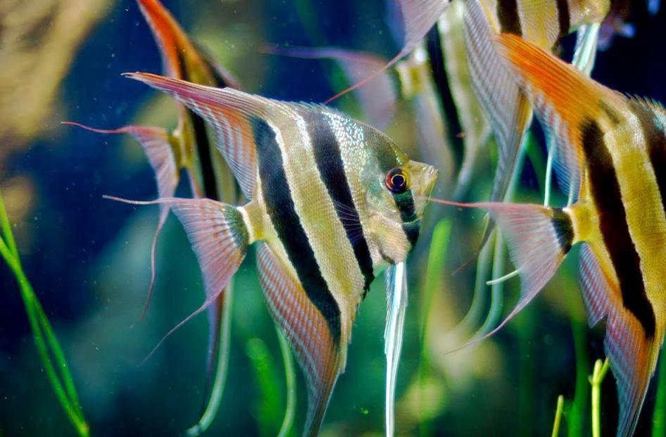 ikan manfish platinum