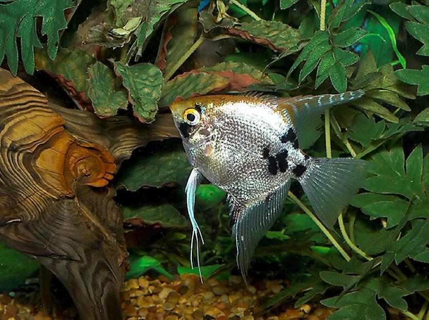 ikan manfish termahal