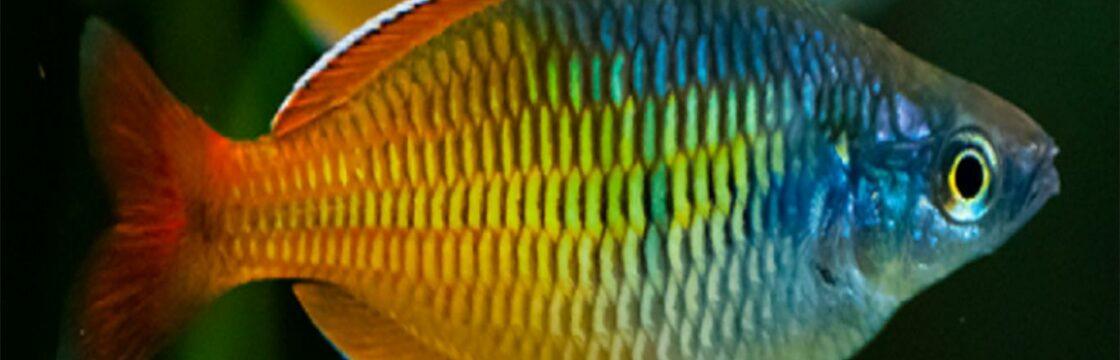 Ikan Rainbow