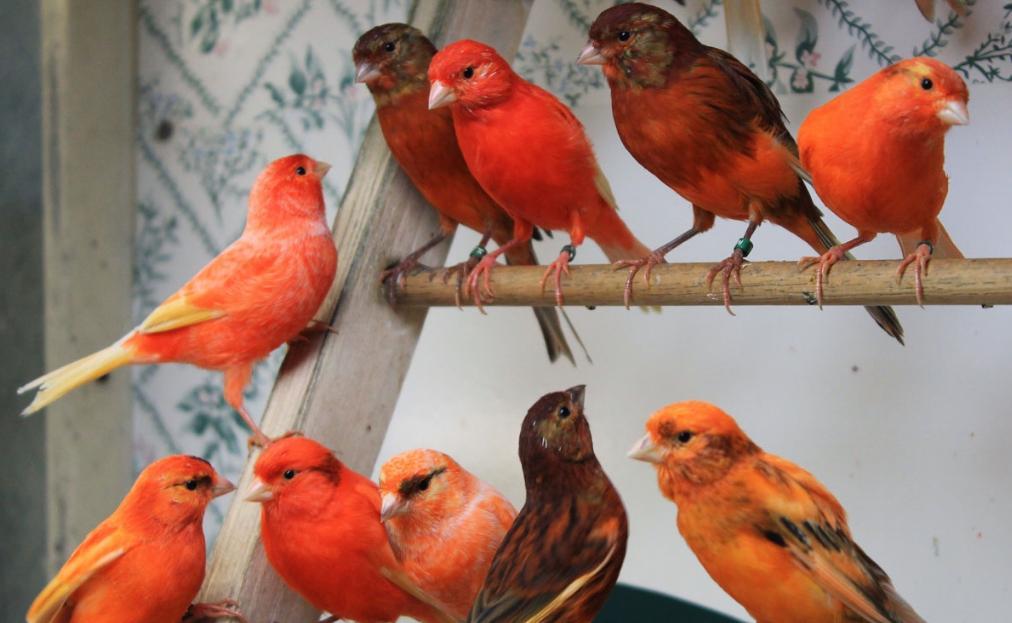 26 Jenis Burung Kenari Dan Harganya Gambar