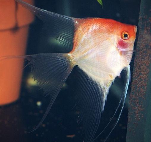jual ikan manfish