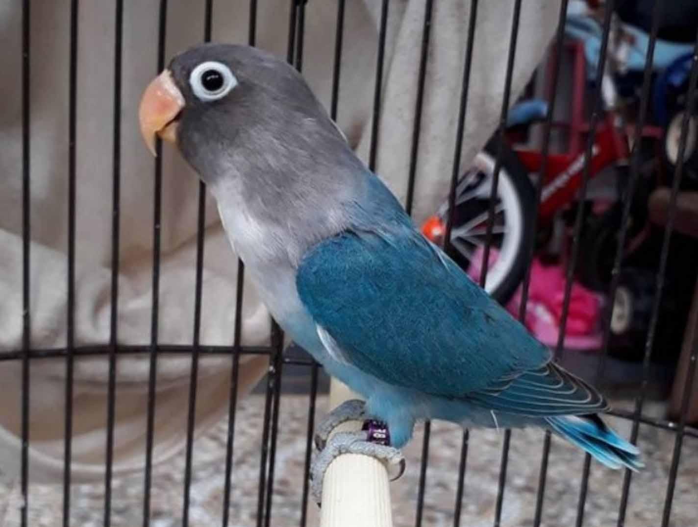 lovebird cobalt