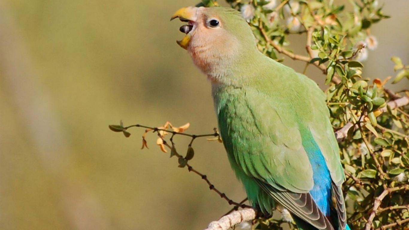 makanan burung lovebird