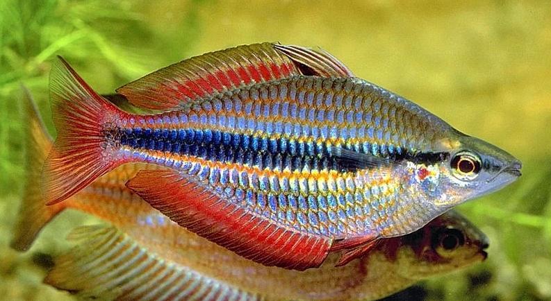 pelangi fish