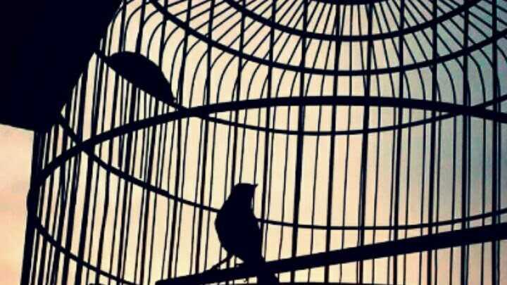 10 Cara Merawat Burung Murai Batu Agar Gacor Di Lomba