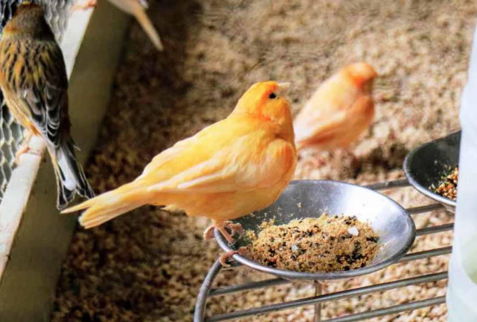 Cara Merawat Burung Kenari Sehari-hari