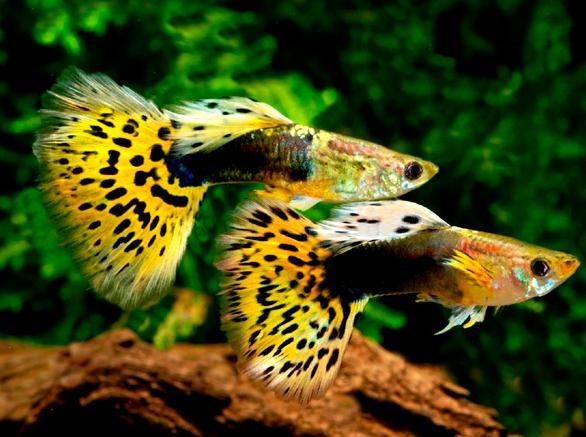 Guppy Leopard