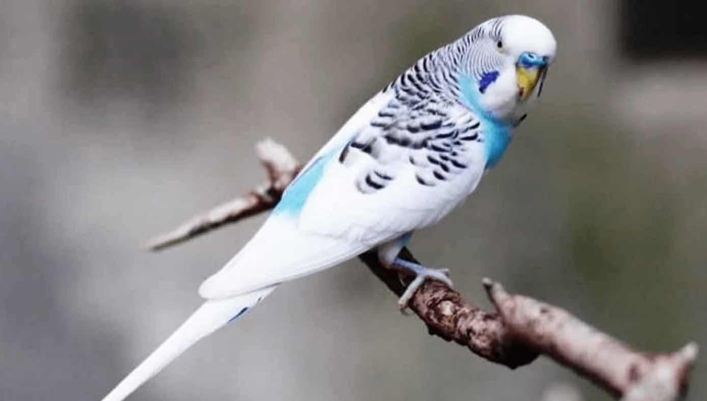 Harga Burung Parkit Holland