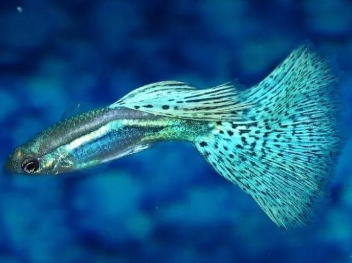 Ikan Guppy Grass