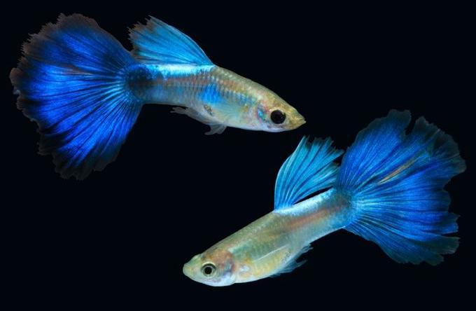 Ikan Guppy Metalik