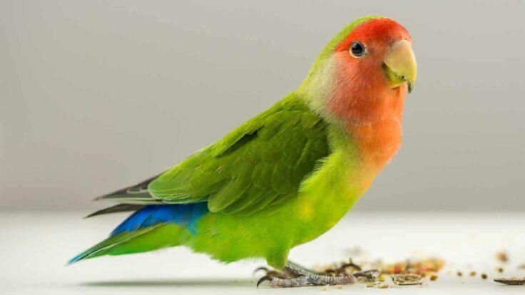Jenis Burung Lovebird dan Harganya