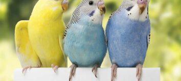Jenis dan Harga Burung Parkit