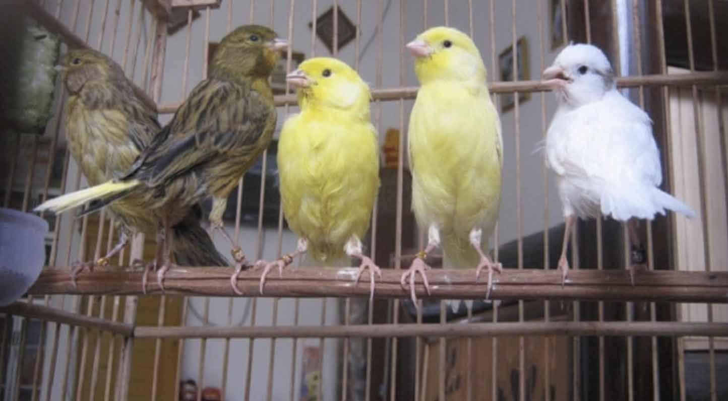 Pemasteran Burung