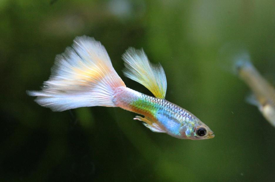 ikan guppy harga