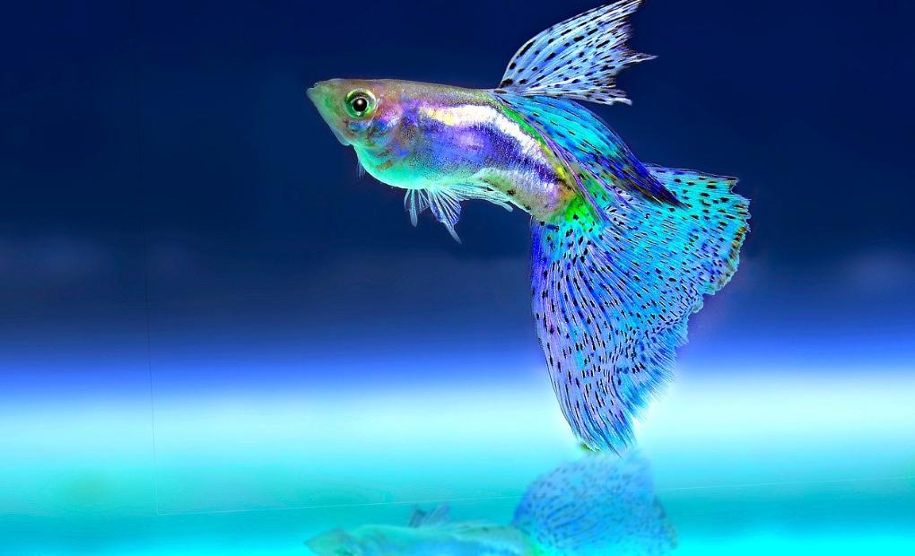 Ikan Guppy Habitat Karakteristik Jenis Cara Merawat Budidaya