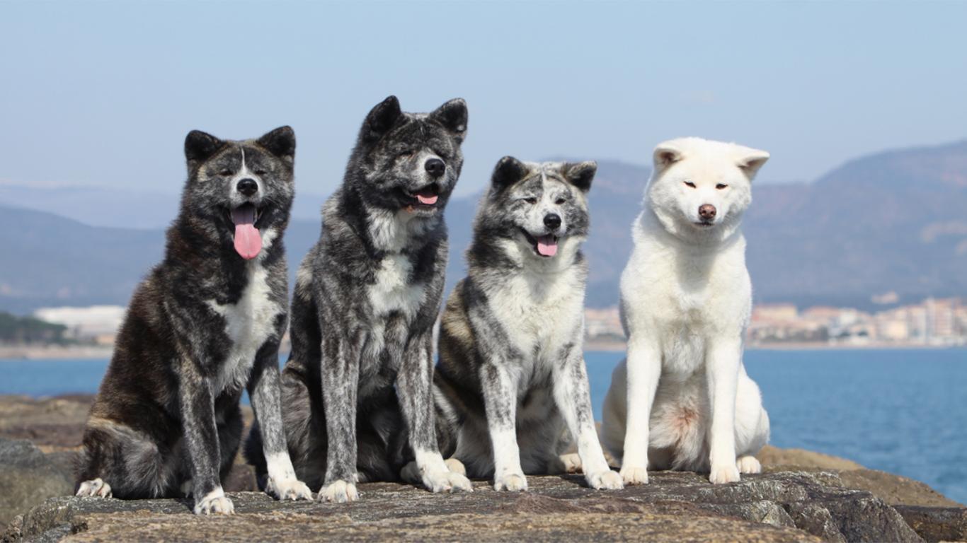 Anjing Akita Harga Sifat Cara Merawat Makanan