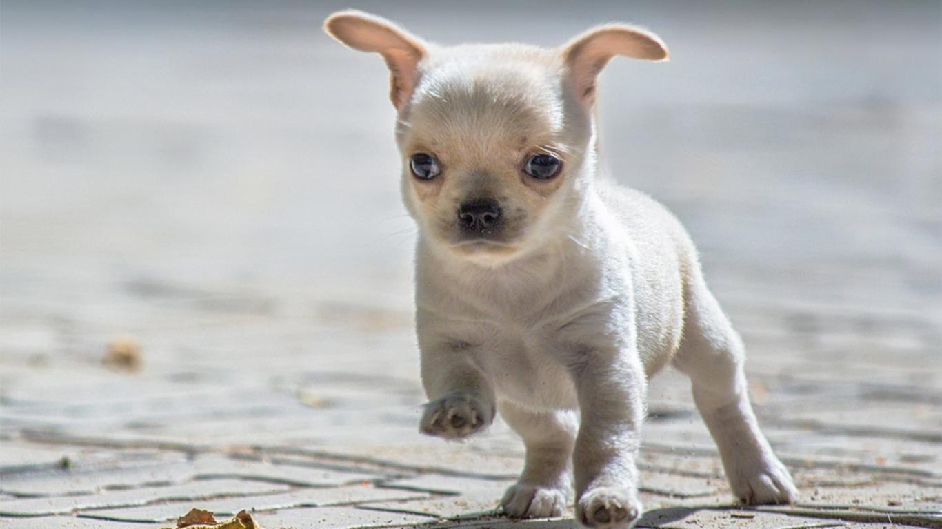 Anjing Chihuahua Harga Sifat Cara Merawat Makanan
